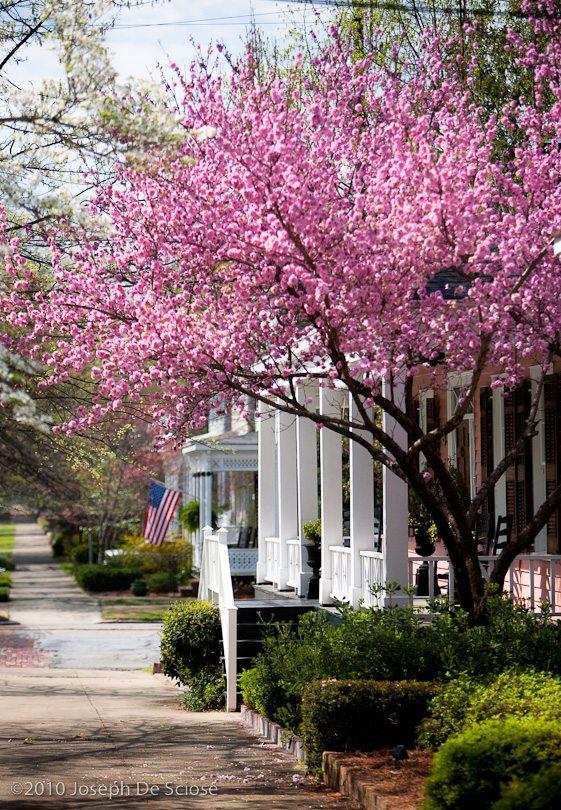 Cherry blossoms, Columbus, Georgia