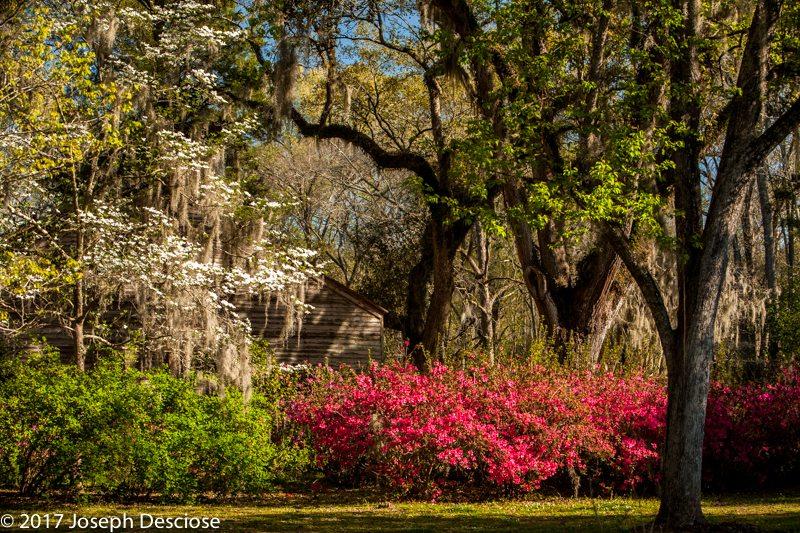 Azaleas in Louisiana