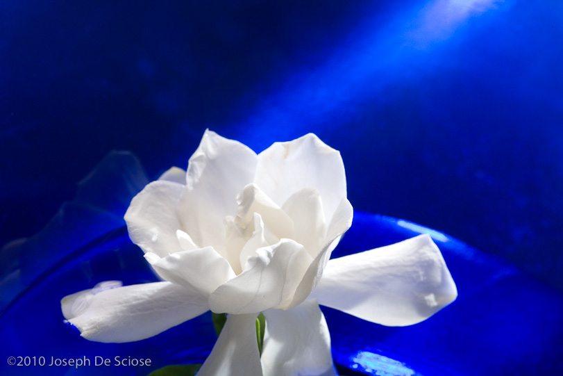 Gardenia flower still life
