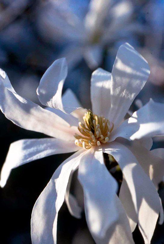Star Magnolia flower