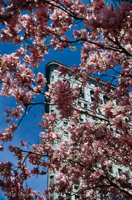 Flat Iron Building framed by Magnolia blossoms, spring, New York City
