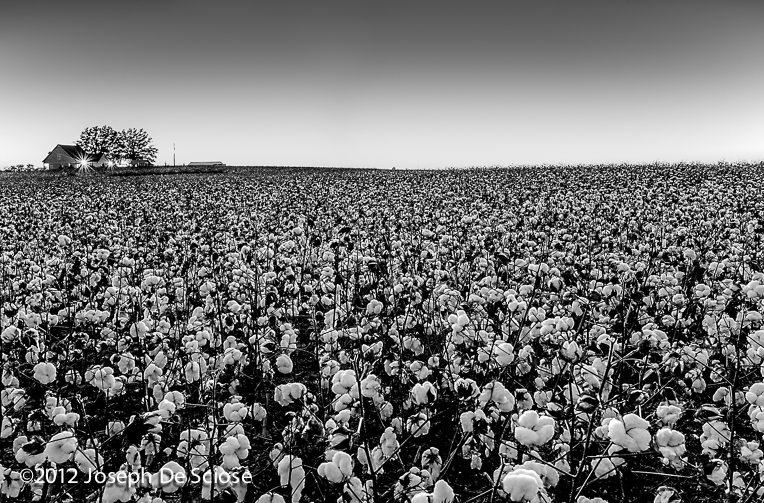 Cotton field at dusk, northern Alabama