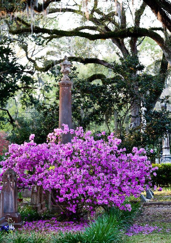 Azaleas in bloom, cemetary, St.Francisville, Louisiana