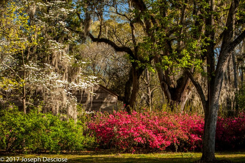 Azaleas in Louisiana