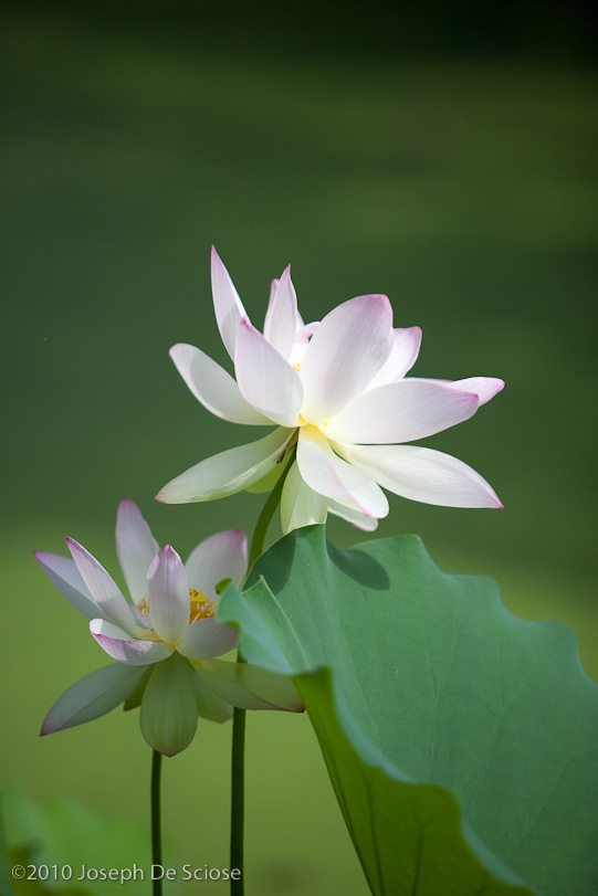 Sacred Lotus flower