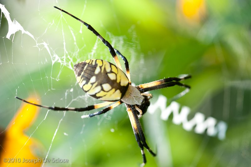 Garden spider in a web, photograph, Joseph De Sciose