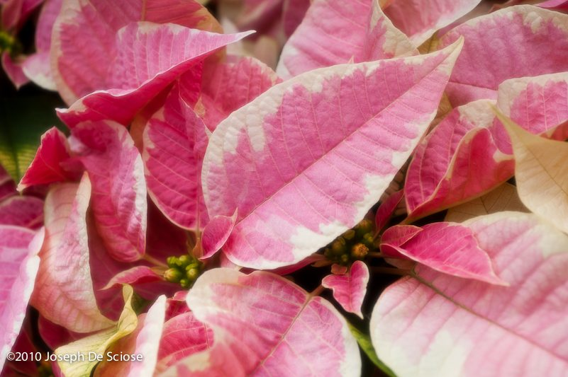 Poinsettia, leaves