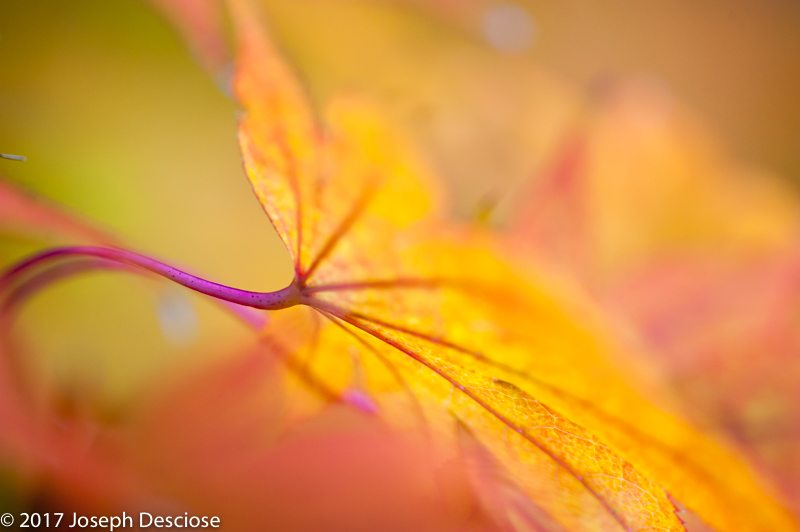 Maple Leaf Close Up