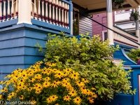 Buffalo, NY garden, Black Eyed Susans