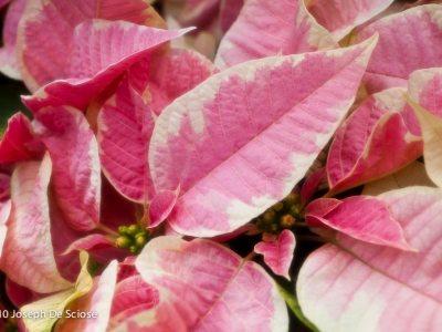 Poinsettia, leaves