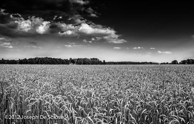 A mature wheat crop in a fiield in Northern Alabama. Black & white.
