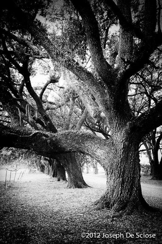 Live Oak trees, Louisiana