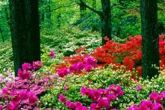 Azaleas, New York Botanical Garden
