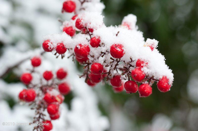 Snow on Nandina berries