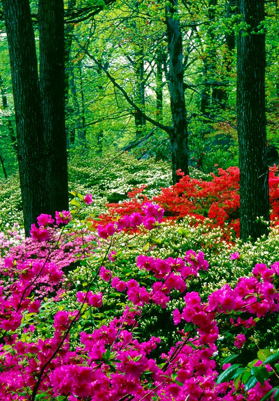 Azaleas, New York Botanical Garden