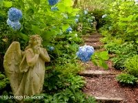 Photograph Joseph De Sciose, Hydrangea Garden with Angel