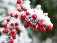 Snow on Nandina berries