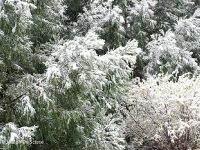 Snow on trees and shrubs.