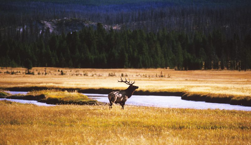 Yellowstone National Park, moose