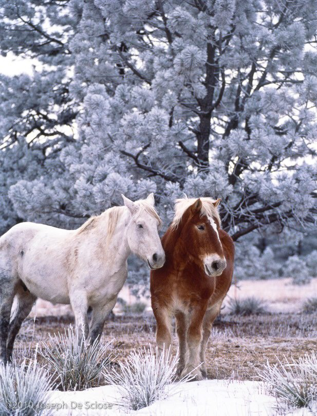 Horses and Hoar frost, Colorado