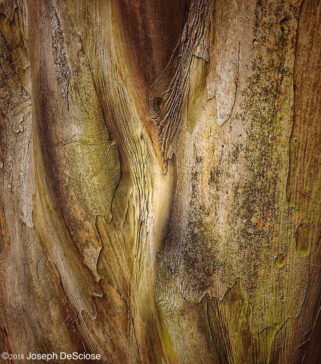Bark #texture #crapemyrtle #botanical #shapes #equivalent #sensuality