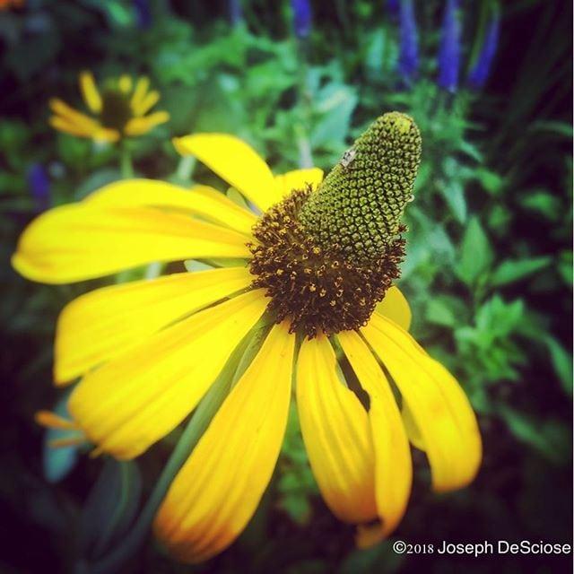 Rudbeckia maxima #equivalent #flower #rudbeckia #petals #yellow #garden #summer #inspiration #perrenialflowers