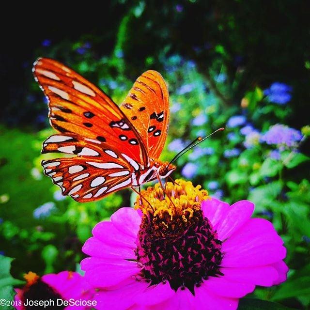 Pollinator #butterfly #zinnia #garden #flowers #autumn #beauty