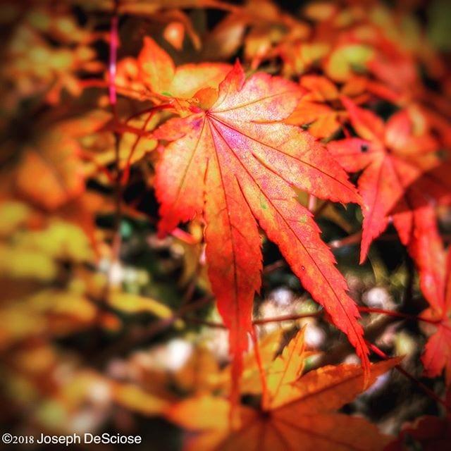 Gratitude #primalpleasure #commercialphotography #alabama #editorialphotography #garden #Hoover #leaves #landscapephotography #nature #thanksgiving #japanesemaple #tree #autumn