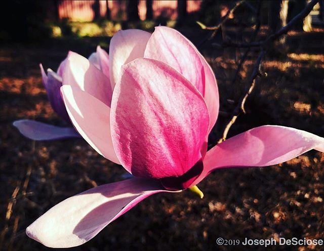 Magnolia flower #fineartphotography #commercialphotography #horticulture #botanical #magnolia #garden #beauty #spring #petals #pink #sensual