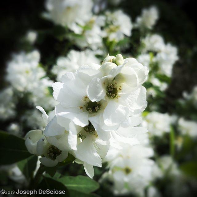 Exochorda #fineartphotography #alabama #flowers #flowerstagram #floweringshrub #spring #white #botanical #pearlbush #horticulturalphotography
