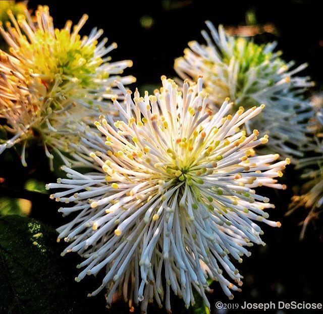 Fothergilla #fineartphotography #alabama #commercialphotography #botanical #horticulture #flower #shrub #perennials #bottlebrush #spring #garden