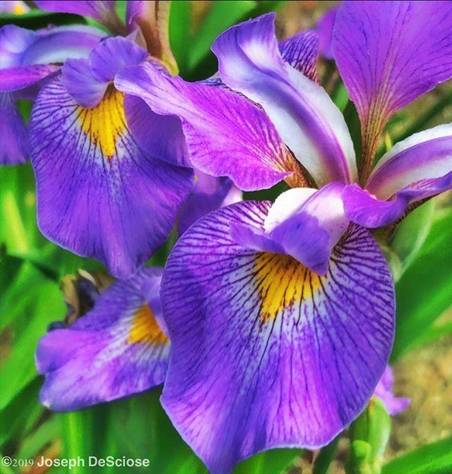 Iris #fineartphotography #commercialphotography #alabama #iris #flowers #perennials #rhizome #garden #spring #petals