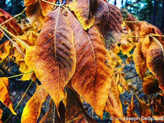 I love autumn #buckeye #leaves #fallcolors #nature #landscapephotography #fineartphotography #alabama #decorativearts #seasonal #perennialgarden