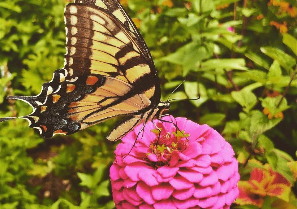 Purposefully #swallowtailbutterfly #zinnia #flower #garden #gardening #pollinators #summerafternoon  #fineartphotography #botanical #alabama @bhamnow