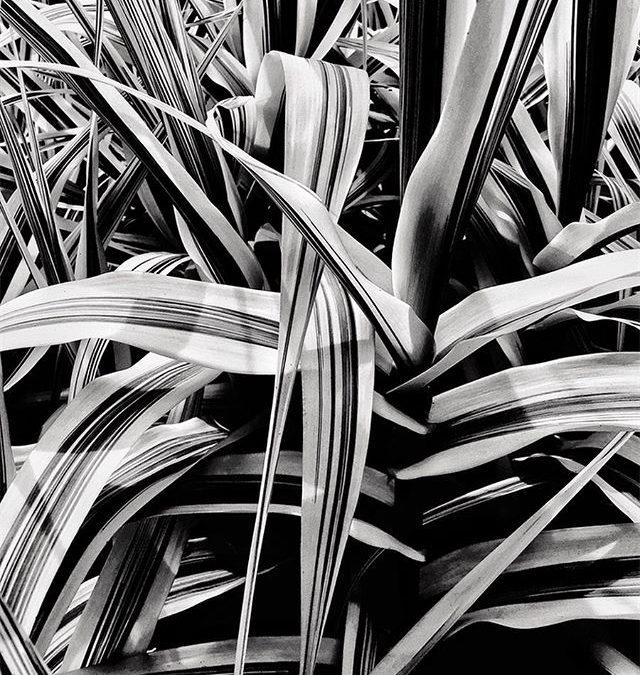 Stripes #arundodonax #plant #plantnursery #garden #fineartphotography #commercialphotography #textures #shapes #leaves